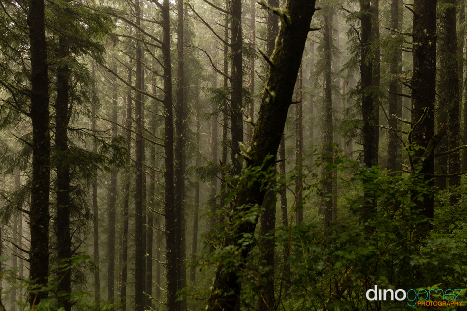 Amazing shot of a forest as the fog lifts in Portland by photographer Dino Gomez