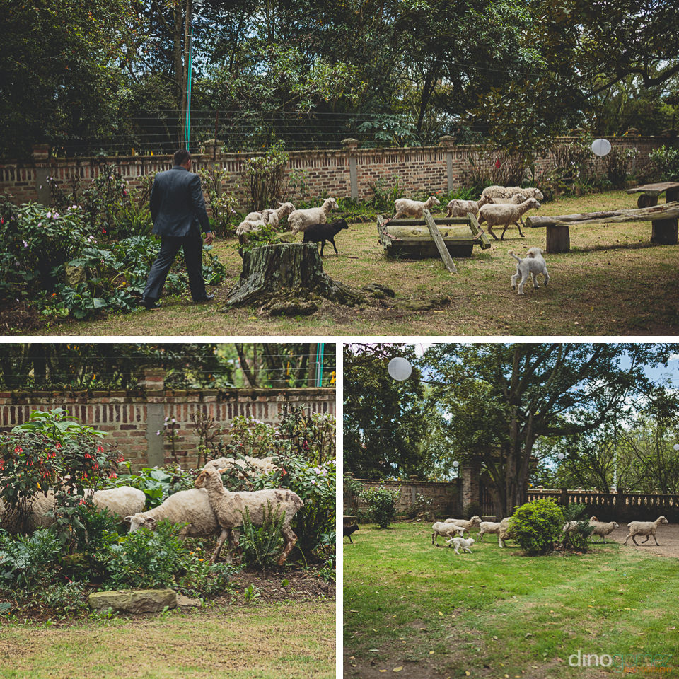sheep and dog run around the grounds of the hacienda during the