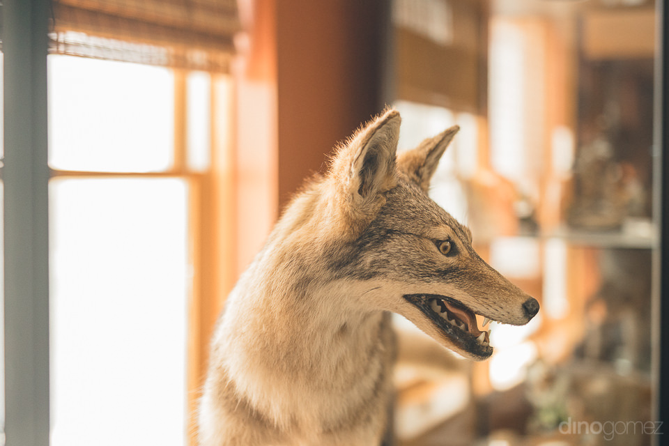 stuffed wolf at baltimore woods nature center wedding photos by